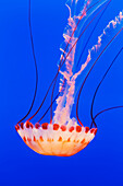 California, Monterey, An orange Jellyfish (Cnidarian) in the Monterey Aquarium.