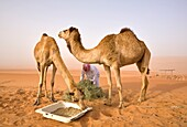 'Wahiba, Oman, Feeding Time For The Camels Of A Local Bedouin In Wahiba Sands; Wahiba Sands, Oman'