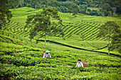 'Workers In The Tea Plantation; Tanjung Sakti Sumatera Selatan Indonesia'