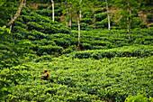 'A Worker In A Tea Plantation; Sylhet Bangladesh'