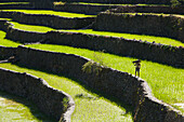'A Farmer Walks Along The Famous Rice Terraces; Batad Northern Luzon Philippines'