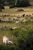 A herd of ewes in the Aveyron region, France