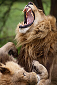 Africa, Botswana, Okavango delta, Moremi reserve, lions