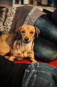 Dog, crossbreed, lying down, Berlin, Germany
