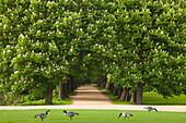 Allee of chestnut trees, Herten, North Rhine-Westphalia, Germany