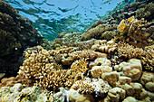 Coral on Reef Top, Zabargad, St Johns, Red Sea, Egypt