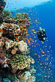 Scuba Diving in, Zabargad, St Johns, Red Sea, Egypt