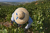 Montilla, Harvesting Pedro Ximenez wine grapes, Vintage in a vineyard in Montilla, Montilla-Moriles area, Cordoba province, Andalusia, Spain