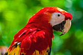 Scarlet macaw, Xcaret Park Eco-archaeological Theme park, Riviera Maya, Quintana Roo, Mexico