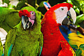 Lilac crowned parrot green Loro occidental and Scarlet Macaw red, Xcaret Park Eco-archaeological Theme park, Riviera Maya, Quintana Roo, Mexico
