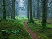 Misty scene in a forest at autumn time  Stockhill Forest, Mendip Hills, Somerset, England