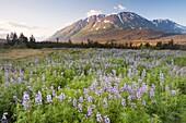 Meadow of Nootka Lupine - Lupinus nootkiensis -, Seward Highway, Alaska, U S A
