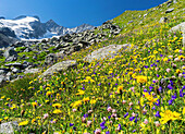 The Reichenspitz Mountain Range in the Zillertal Alps in the National Park Hohe Tauern  Wildflower meadow, in the background Mount Gabler and Mount Reichen Spitze with the glacier Wildgerlos Kees  The National Park Hohe Tauern is protecting a high mountai