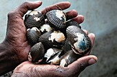 A Colombian man shows hands full of shellfish collected in the mangrove swamps on the Pacific coast, Colombia, 12 June 2010  Deep in the impenetrable labyrinth of mangrove swamps on the Pacific seashore, hundreds of people struggle everyday, searching and