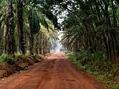 A bright reddish orange road through a dense palm grove