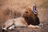 yawning Lion Panthera leo lying in savannah at dusk, Masai Mara, Kenya