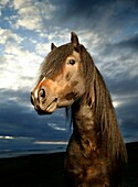 Portrait of Horse  Icelandic purebred horse, Iceland