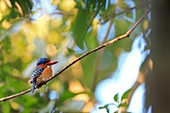 Male Banded Kingfisher Lacedo pulchella perched in rainforest canopy  Khao Yai National Park  Thailand