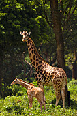 Adult female Rothschild´s Giraffe Giraffa camelopardalis rothschildi with young in Murchison Falls National Park, Uganda