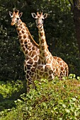 Two young adult Rothschild´s Giraffe Giraffa camelopardalis rothschildi standing in Murchison Falls National Park, Uganda