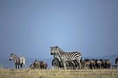 Group of Plain´s Zebra also known as Common Zebra or Burchell´s Zebra Equus quagga previously known as Equus burchelli, in front of herd of Wildebeeste Connochaetes taurinus on Masai Mara, Kenya