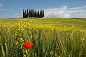 Typical Tuscan landscape with cypress grove, yellow rape field, canola field and poppy, near San Quirico d´Orcia, Val d'Orcia, Orcia valley, UNESCO World Heritage Site, province of Siena, Tuscany, Italy, Europe