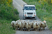 Flock of sheep in front of a car near Asciano, Orcia valley, Val d'Orcia, UNESCO World Heritage Site, province of Siena, Tuscany, Italy, Europe