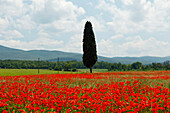 Zypresse und rote Mohnfelder, Mohn, Colle di Val d Elsa, Provinz Siena, Toskana, Italien, Europa