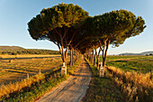 Alley lined with pine tree, Parco Naturale di Maremma, natural preserve, province of Grosseto, Tuscany, Italy, Europe
