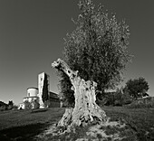 Olive tree in front of the Abbey, Abbazia di Sant Antimo, 12th century, Romanesque architecture, near Montalcino,  province of Siena, Tuscany, Italy, Europe