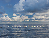 Swans in the Baltic sea, Jasmund National Park, Ruegen, Mecklenburg-Western Pommerania, Germany