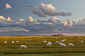 Sheep grazing in a field near Westerhaven lighthouse, Schleswig-Holstein, Germany