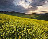 Rape field with the mountains in the eveing light, Pienza, Tuscany, Italy