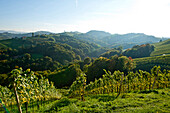 Vineyard in autumn, Styria, Austria