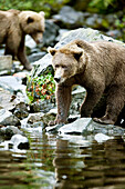 USA, Alaska, brown bears stalking fish, Wolverine Cove, Redoubt Bay