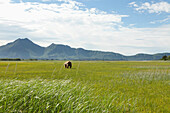 ALASKA, Homer, a large male grizzly (brown) bear in the wide open landscape of the Katmai National Park, Katmai Peninsula, Gulf of Alaska