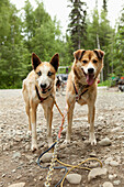ALASKA, Talkeetna, slead dogs Dawson and Oliver harnessed up and ready for a trail run in the Summertime, Huskytown