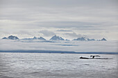 ALASKA, Sitka, grey whales swim and feed on krill in the Sitka Sound