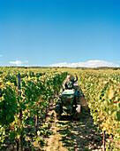 AUSTRIA, Morbisch, harvesting grapes, Schindler Vineyard, Burgenland