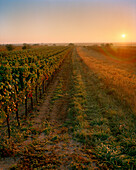 AUSTRIA, Oggau, sunrise over a vineyard South of town, Burgenland