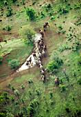 BOTSWANA, Africa, a herd of elephants traveling in the Okavango Delta, Aerial view