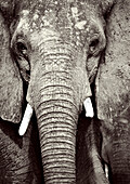 BOTSWANA, Africa, Chobe National Park and Game Reserve, Bull Elephant caked in mud (B&W)