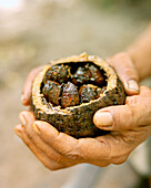 BRAZIL, Belem, South America, human hand holding brazil nuts, Boa Vista, close-up