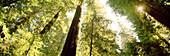 USA, California redwood trees, Avenue of the Giants, Eureka