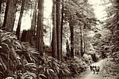USA, California, people walking in the redwood trees, Avenue of the Giants, Eureka (B&W)