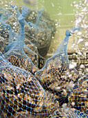 USA, California, fresh oysters awaiting sale, Tomales Bay