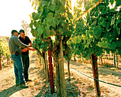 USA, California, Sonoma, chardonnay wine producer Mark Aubert and wine grower Ulises Valdez comment on the grape quality, Ritchie Chardonnay Vineyard, Sonoma County