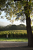 USA, California, Gundlach Bundschu Winery, sixth generation vineyard owner and manager Jeff Bundschu walking in the vines