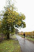 USA, California, a man runs past a mature fig tree in the rain, the Sonoma bike path