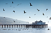 USA, California, Malibu, pelicans and seagulls float and fly in front of the Malibu Pier at Surfrider Beach